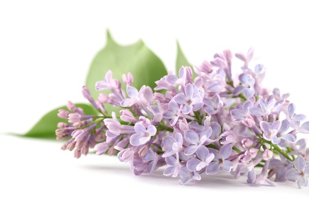purple lilac: Purple lilac on white background