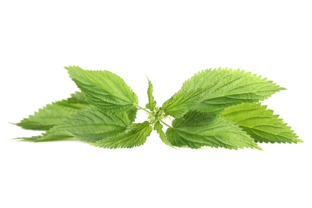 Close-up of fresh stinging nettle isolated on white background  Shallow dof Stock Photo - 14123569