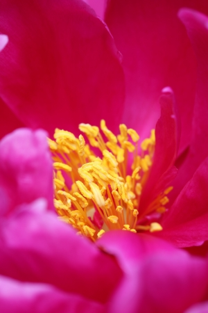 perianth: A detail of red peony  Shallow dof
