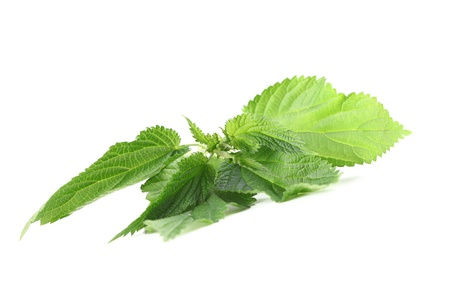Close-up of fresh stinging nettle isolated on white background  Shallow dof photo