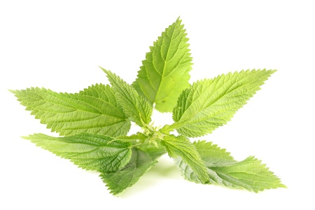 Close-up of fresh stinging nettle isolated on white background  Shallow dof Stock Photo - 14530243