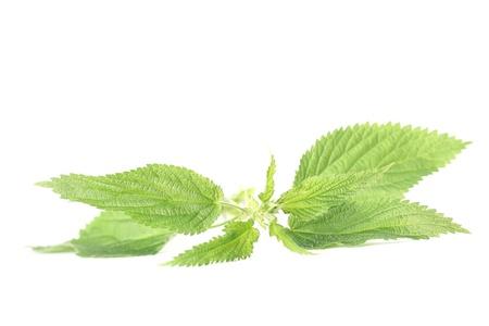Close-up of fresh stinging nettle isolated on white background  Shallow dof Stock Photo - 14782119