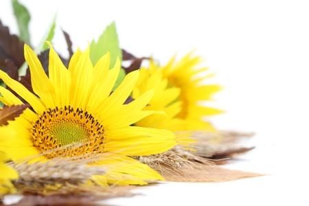 Autumn arrangement with beautiful sunflower isolated on white photo