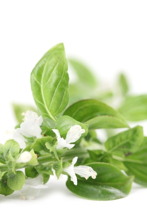 Close-up of fresh blooming basil isolated on white background photo