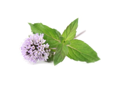 peppermint: Close-up of fresh blooming mint isolated on white background