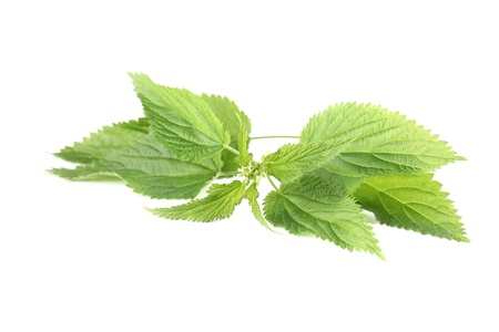 Close-up of fresh stinging nettle isolated on white background  Shallow dof Stock Photo - 15513778