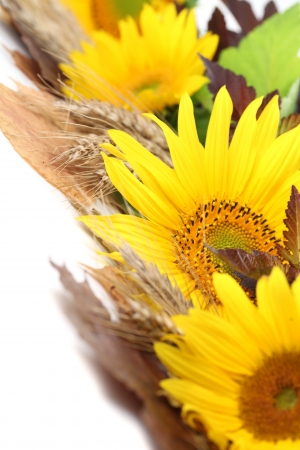 Sunflower border with barley and colorful leaves isolated on white background photo