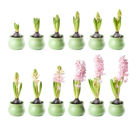 Pink hyacinth in twelve stages of growth photo