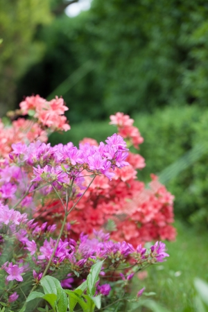 flower bed: Spring garden with beautiful colorful azalea bushes