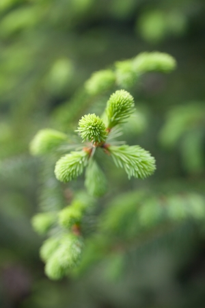 burgeoning: Spruce twig with young, light green sprouts