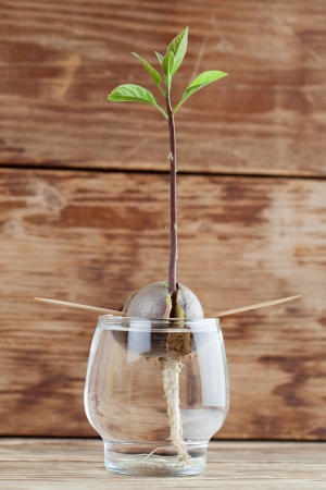 burgeoning: Avocado seed with root and sppprout with leaves in glass with water fourth growth stage of avocado plant