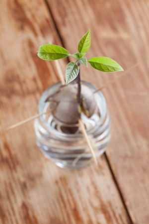 burgeoning: Avocado seed with root and sppprout with leaves in glass with water – fourth growth stage of avocado plant Stock Photo