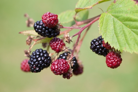 blackberry bush: Close-up of a blackberry bush with ripening blackberries Stock Photo