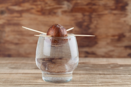 toothpick: Avocado seed in glass with water – first growth stage of avocado plant