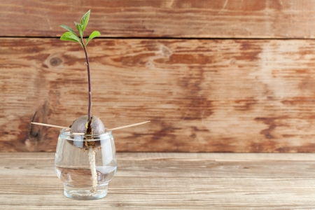 burgeoning: Avocado seed with root and sprout with leaves in glass with water – fourth growth stage of avocado plant