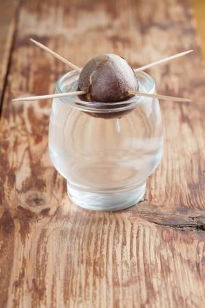 burgeoning: Avocado seed with root in glass with water – second growth stage of avocado plant