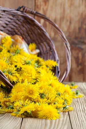 Freshly picked dandelions in a wicker basket photo