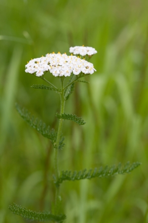 yarrow: Close-up of blooming yarrow on a meadow.  Stock Photo