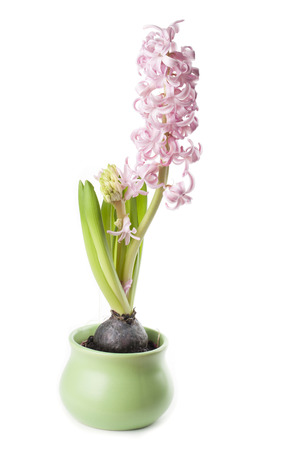 Pink hyacinth isolated on white background photo
