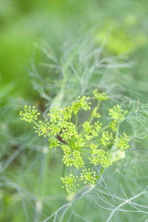 dill seed: Close-up of a dill flower with seeds