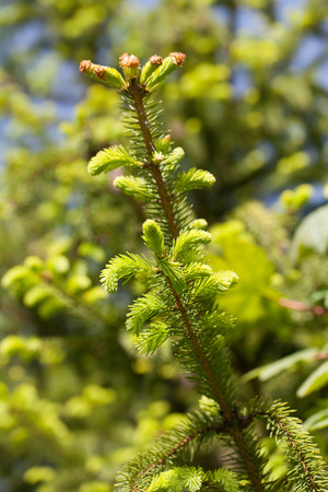 burgeon: Spruce twig with young, light green sprouts