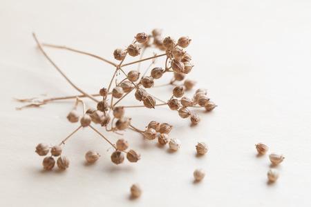 coriander seeds: Close-up of little coriander seeds. Shallow dof
