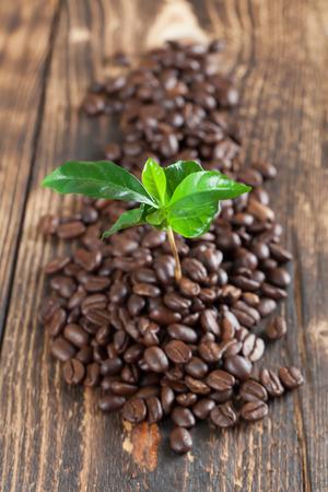 planta de cafe: Planta del caf� de pl�ntulas en los granos de caf�. Kelvin superficial