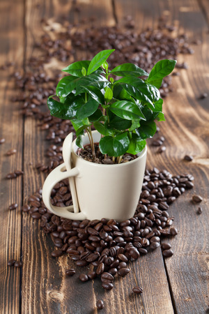 planta de cafe: plántulas de plantas de café en una taza y granos de café Foto de archivo