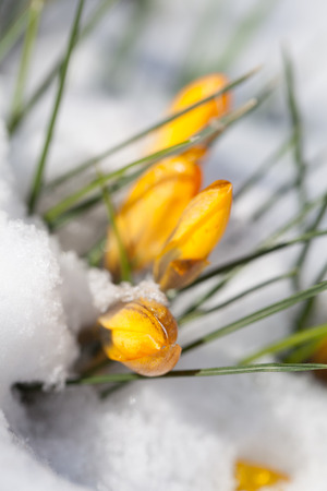 sprouting: Bright yellow crocuses sprouting from the snow