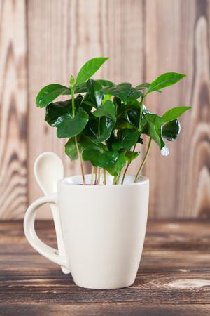 planta de cafe: plantas de semillero de plantas de caf� en una taza. Kelvin superficial