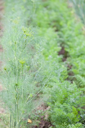 Dill growing in rows in the garden bed Stock Photo