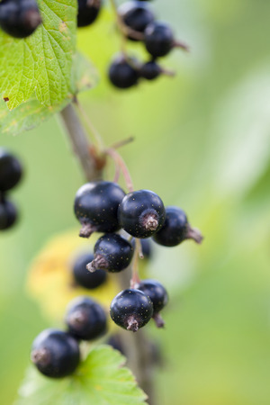 Clusters of ripe black currants on the bush Stock Photo