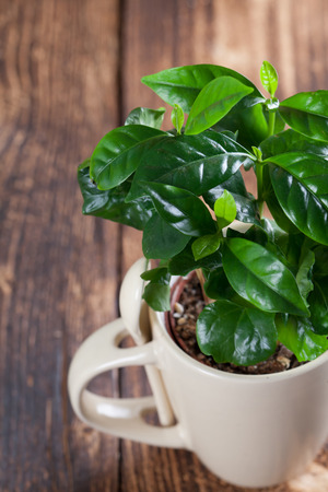 Coffee plant seedlings in a mug. Shallow dof Stock Photo