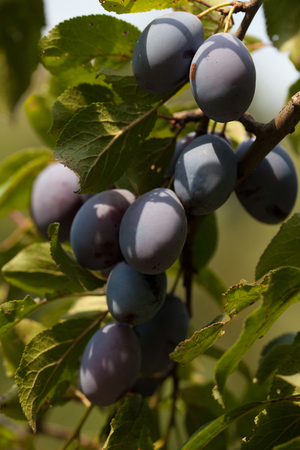 Beautiful ripe organic plums on a tree Stock Photo