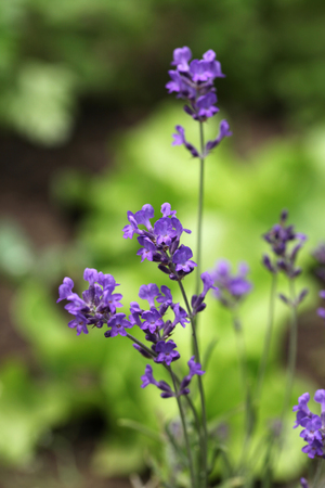 Close-up of beautiful fragrant lavender. Shallow dof Stock Photo