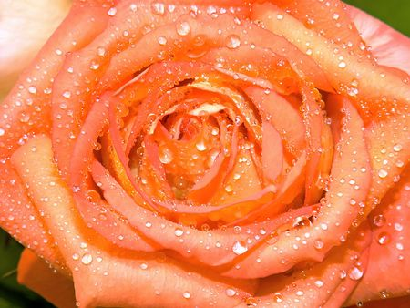 Beautiful orange-yellow rose and drops of water close-up Stock Photo - 6863972