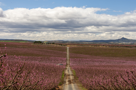 Peach tree fields, in a cloudy and shiny day. A path in the foreground crossing the fields of peach tree in bloom. Like a pink sea.
