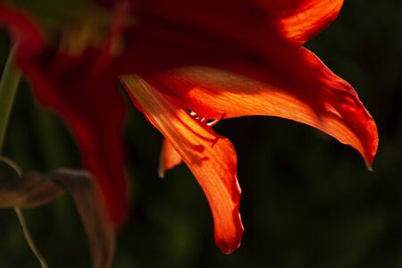 Red amaryllis petals at backlight on green background. amazing flowers Reklamní fotografie