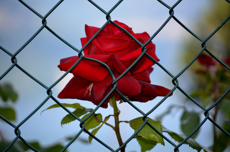 imprisoned: Rose imprisoned Stock Photo