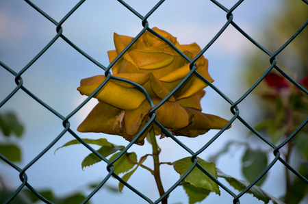imprisoned: Dried roses imprisoned
