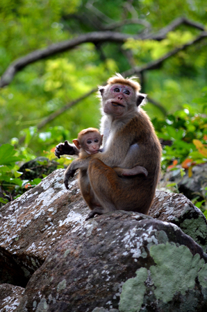 breastfeed: Mom monkey action to breastfeed her child