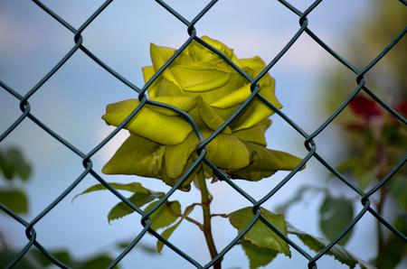 imprisoned: Yellow Rose imprisoned