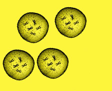 microbio: Cuatro amarilla microbio visto en un microscopio en un consultorio m�dico