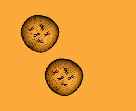 microbio: Dos de naranja microbio visto en un microscopio en un consultorio médico Foto de archivo