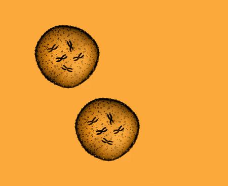 microcosmic: Two microbe orange seen in a microscope in a medical office