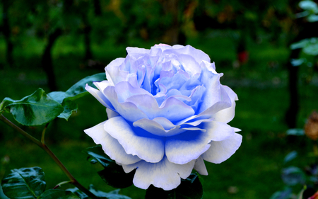 blue roses: Blue roses in my garden Stock Photo