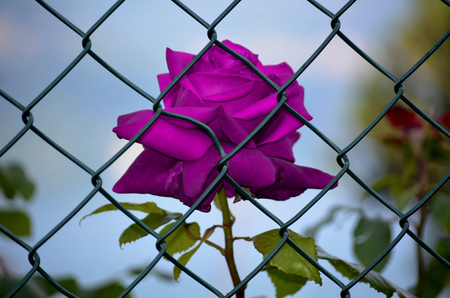 imprisoned: Purple roses imprisoned Stock Photo