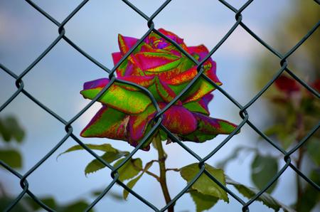 imprisoned: Rose imprisoned multicor Stock Photo