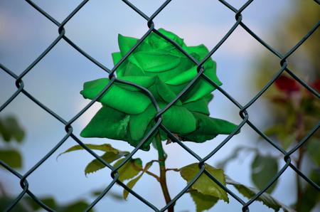imprisoned: green Rose imprisoned Stock Photo