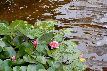 hydrophyte: pink water lily under the sun Stock Photo